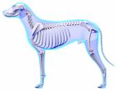 Dog Skeleton Anatomy - Anatomy of a Male Dog Skeleton — Stock fotografie