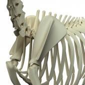 Hond schouderblad anatomie - anatomie van een Canine schouderblad — Stockfoto