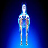 Horse Skeleton Back View - Horse Equus Anatomy - on blue backgro — Stock Photo