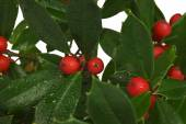 Holly Leaves And Berries Close Up — Stock Photo