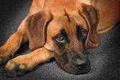 Big Sweet Dog Relaxing — Stock Photo