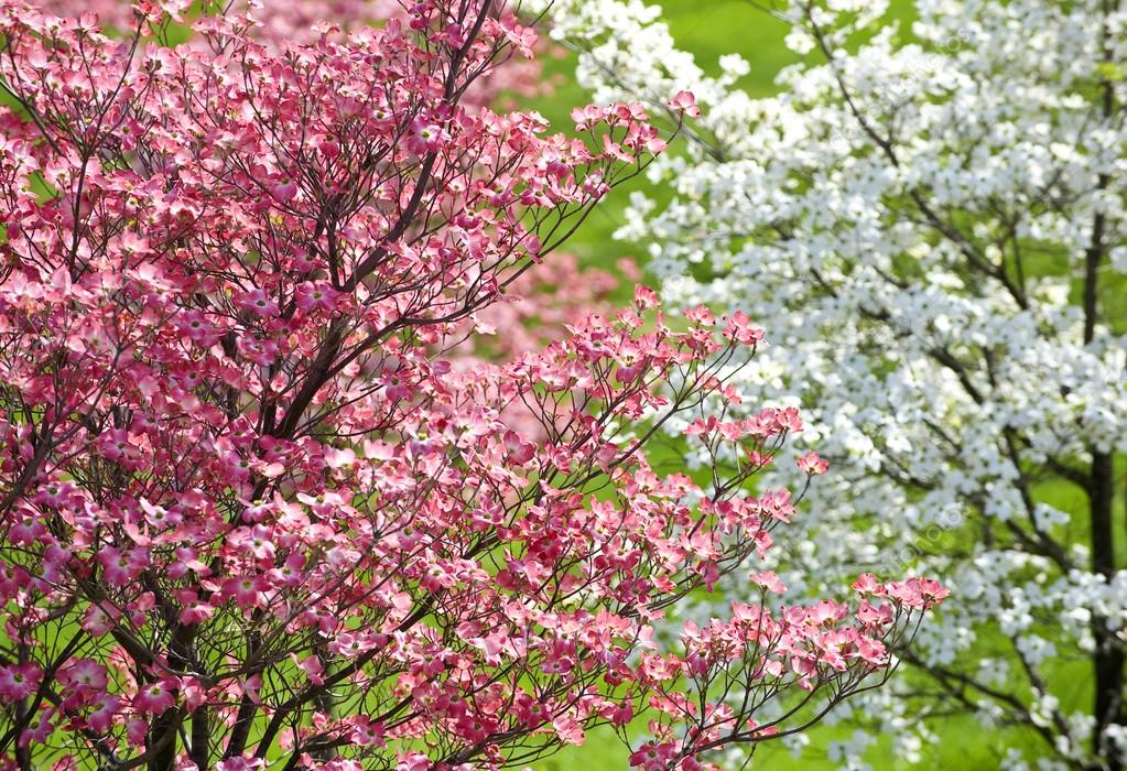 beautiful springtime dogwood trees with pink blossoms. Black Bedroom Furniture Sets. Home Design Ideas