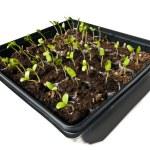 Young Seedling Plants Growing Toward The Light — Stock Photo #74656189