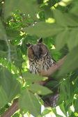 Owl on green tree — Stock Photo