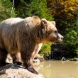 The grizzly bear — Stockfoto #55678699