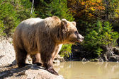The grizzly bear — Stock Photo