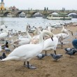 People feeding swans  on Vltava river in Prague, Czech Republic — Stock Photo #68064741
