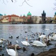 Beautiful swans  and ducks on Vltava river in Prague — Stock Photo #68064815