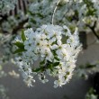 Blossoming tree brunch with white flowers. — Stock Photo #68376965