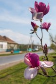 Blossoming magnolia flowers — Stock Photo