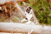 Bull terrier cachorro al aire libre — Foto de Stock