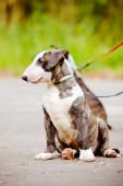 Bull terrier chiot à l'extérieur — Photo