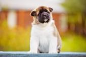 Adorable american akita puppy — Stock fotografie