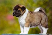 愛らしいアメリカ秋田子犬 — ストック写真