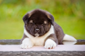 Adorable american akita puppy — Stockfoto