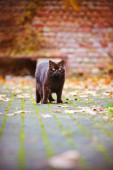 British shorthair cat outdoors in autumn — Stock Photo