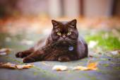 British shorthair cat outdoors in autumn — Stockfoto