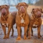 Three dogue de bordeaux dogs — Stock Photo #60027517