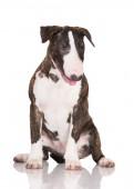 English bull terrier puppy — Stock Photo