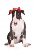 Inglés bull terrier cachorro — Foto de Stock
