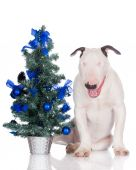 English bull terrier puppy with a christmas tree — Stock Photo