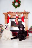 Dogs by a christmas decorated fireplace — Stock Photo