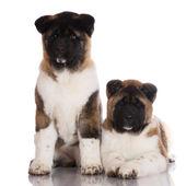 Two american akita puppies — Stock Photo