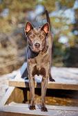 Thai ridgeback dog — Stock Photo