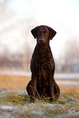 Black curly coated retriever dog — Stock Photo