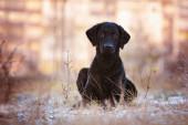 Black curly coated retriever dog — Stock Photo