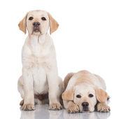 Two adorable labrador puppies — Stock Photo