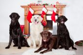 Four dogs by a christmas decorated fireplace — Stock Photo
