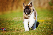 Akita puppy outdoors — Stock Photo