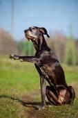 Old great dane dog — Foto Stock