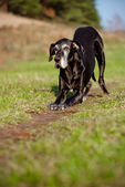 Old great dane dog — Stock Photo