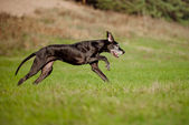 Old great dane dog — Stock Photo
