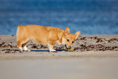 Welsh corgi pembroke puppy playing on the beach — Stock Photo