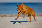 Dogue de bordeaux dog on the beach — Stock Photo