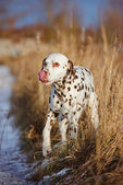 Cane dalmata all'aperto in inverno — Foto Stock