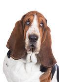 Basset hound dog on white — ストック写真