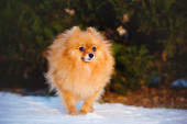 Red pomeranian spitz dog outdoors in winter — Stock Photo