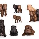 Shar pei puppies — Stock Photo #62089343
