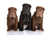 Shar pei puppies — Stock Photo