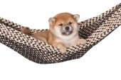 Red shiba inu puppy — Stock Photo
