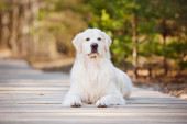 Beautiful golden retriever dog in the forest — Stock Photo