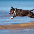 Miniature english bull terrier dog jumps in water — Stock Photo #67975931