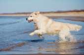 Golden retriever dog on the beach — Foto de Stock