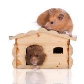 Syrian hamster — Stock Photo