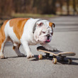 English bulldog on a skateboard — Stock Photo #69812831