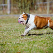 English bulldog outdoors — Stock Photo #69934975